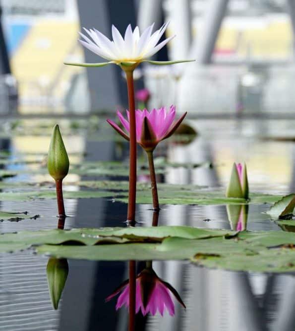 ดอกบัว คือดอกไม้ที่บอบบาง หากน้ำในตมหรือโคลนเหือดแห้ง ดอกบัวก็มีสิทธิ์ที่จะเหี่ยวแห้งและตายได้ในที่สุด